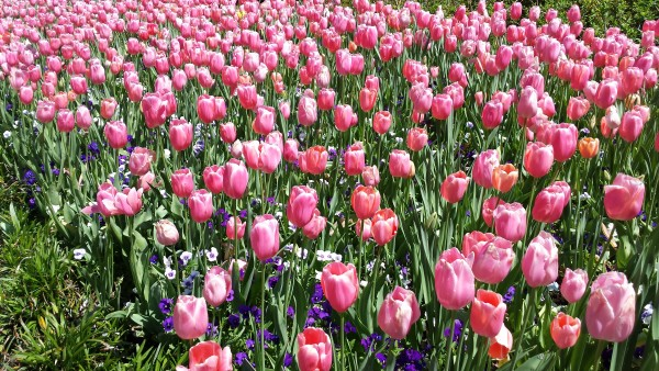 Five Things Tulips